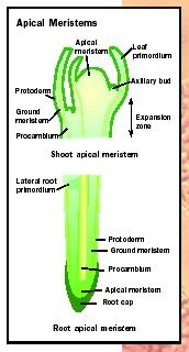 Structure of root and shoot apical meristems.