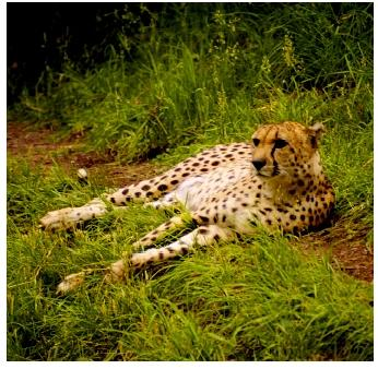 Cheetahs, which have very little genetic variation, are presumed to have gone through several genetic bottlenecks.
