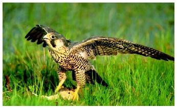 Predatory birds, such as this peregrine falcon (Falco peregrinus anatum), possess outstanding eyesight.