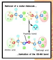 Figure 2. Formation of a peptide bond.