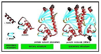 Levels of protein structure. Alpha helices and beta sheets are linked by less-structured loop regions to form domains, which combine to form larger subunits and ultimately functional proteins.
