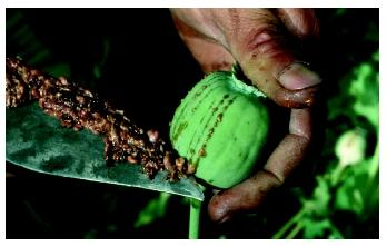 The milky juice of unripe seed pods is used to make opium from the opium poppy plant.