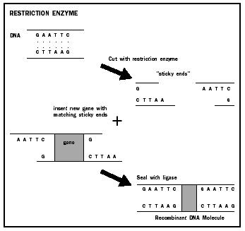 The process of DNA cloning has two components: one is the use of restriction enzymes in vitro to cut DNA into a unique set of fragments; the other is the use of vectors to ensure that the host organism carries and replicates the foreign DNA.