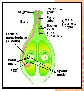 Anatomy of the reproductive organs in angiosperms.