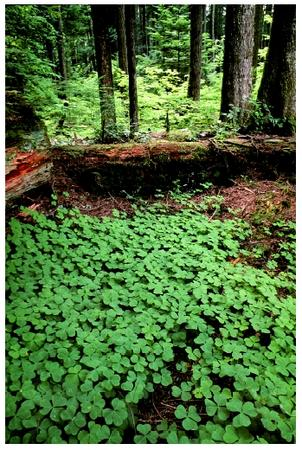 An old-growth forest with an understory of wood sorrel in Mt. Hood National Forest in Oregon. Plants exhibit regular, cyclic physiological changes of many sorts.
