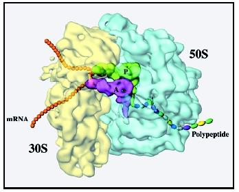 A color-coded cryo-EM map of an E. coli ribosome showing the interface between the small (30S) and large (50S) ribosomal subunits.