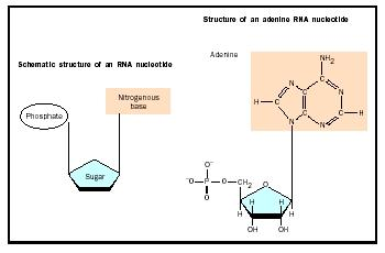 RNA chains are composed of simpler units called nucleotides. Four different bases are used in RNA; adenine is shown.