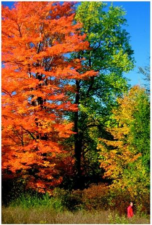 The reds and yellows of the fall landscape are due to the pigment changes occurring during the early stages of senescence in millions and millions of leaves.