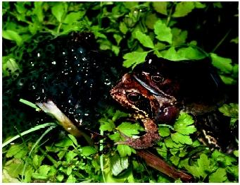 Common frogs in amplexus. Sexually reproducing individuals spend a considerable amount of time and energy locating mates, exchanging genetic material, and often caring for young.