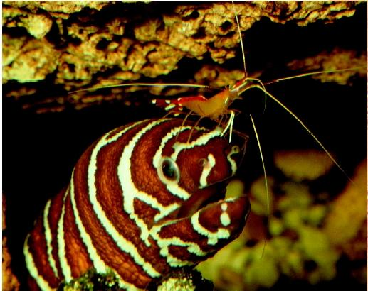 Cleaner shrimp cleaning a zebra moray eel. Mutualistic relationships such as these promote the well-being of the host fishes and provide food for those that do the cleaning.