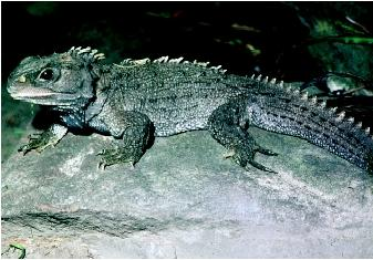 "A Cook Strait Tuatara. Tuatara is a Maori word meaning ""peaks or spines on the back."""