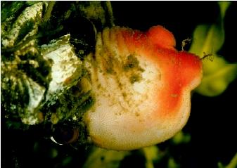 A sea peach tunicate. Tunicates are named for the cloaklike tunics that support their saclike bodies.