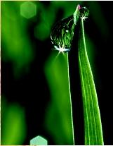 A drop of guttation, water extruded by a plant