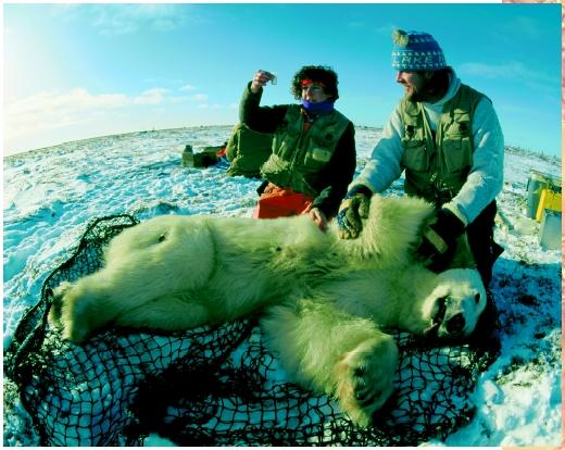 Biologists take samples from a drugged polar bear for data about pesticides in the Hudson Bay area of Manitoba.