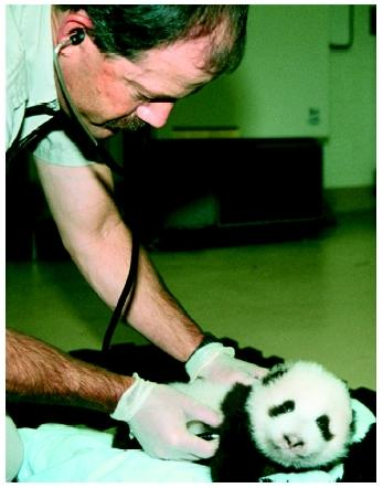 A zoo veterinarian examines the San Diego Zoo's female giant panda cub in October 1999.
