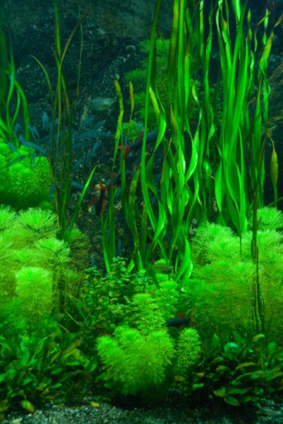 Algae - Biology Encyclopedia - cells, plant, body, human ...