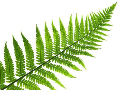 Gymnosperms - Biology Encyclopedia - plant, body, DNA, life